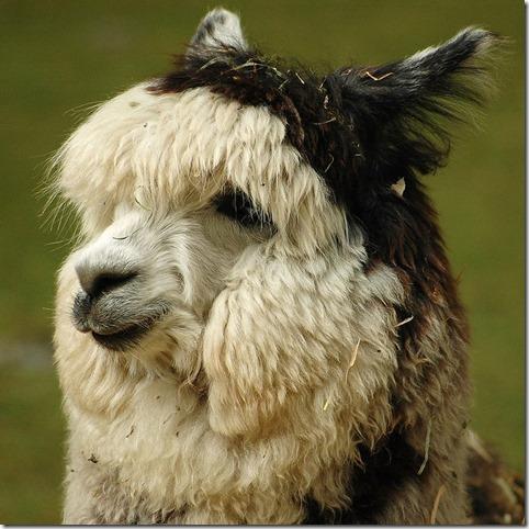 1024px-Alpaca_headshot